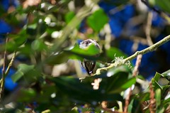 DSC_1527 (john.r.d.reynolds) Tags: goldengatepark birds wildlife hummingbirds
