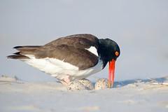 Precious Eggs! (Insu Nuzzi) Tags: nature birds wildlife ngc americanoystercatcher specnature nickersonbeach