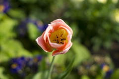 Tulip (Cris Ward) Tags: park uk pink flowers plants color colour green london nature yellow digital garden 50mm prime petals spring colorful britain sony peach tulip bloom flowering growing alpha f18 dslr amateur beginner a450 50mmdtsam