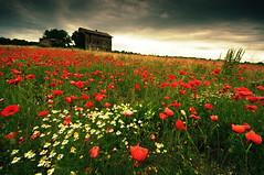 Ma sono Mille papaveri Rossi (bebo82) Tags: house abandoned clouds casa nuvole pentax poppies grado papaveri abbandonata fabriziodeandr pentaxk20d pentaxk20