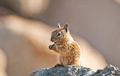 Baby squirrel (Photosuze) Tags: cute nature spring squirrels rocks babies eating wildlife morrobay mammals rodents juveniles