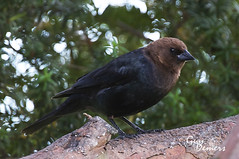 Brown-headed Cowbird... (Guy's pix) Tags: tree brownheadedcowbird iamcanadian