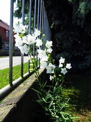 Glockenblume (ekeha) Tags: zaun glockenblume strase