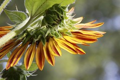 angles ... (mapleda) Tags: red summer flower yellow landscape daylight flora bright sunflower bloom tall flowerbeds