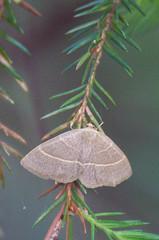Kuluöölane; Trisateles emortualis; Olive Crescent (urmas ojango) Tags: lepidoptera liblikalised insecta putukad insects moth kuluöölane trisatelesemortualis olivecrescent erebidae phytometrinae trisateles ebaöölased