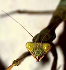 mantis (La Pulgarcita) Tags: mantis النبي שלמה גמל فرس فرسالنبي السرعوف