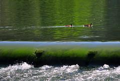 Borderline ducks (maurococi) Tags: italy fall water river duck ducks falls po turin piedmont