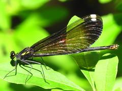 Ebony Jewelwing Damselfly (ArielSD) Tags: macro nature bug insect virginia ode damselfly damselflies jewelwing odonata ebonyjewelwing odonate odes ebonyjewelwingdamselfly odonae arielsd