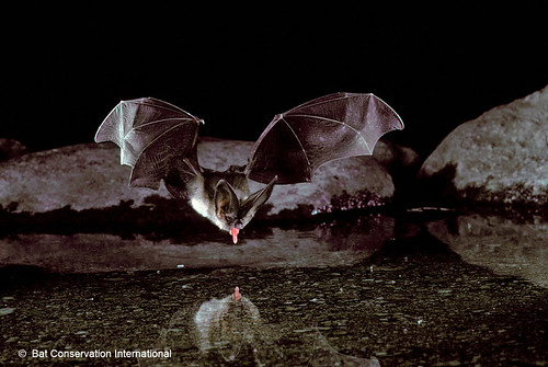 Photo - Townsend's Big-eared Bats have known maternity colonies on OSMP.