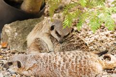 Sleepy Meerkats (Leighton_Cooksey) Tags: cute nikon sleepy meerkats d600 70200mmf28gvr tc20eiii