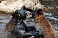 American Black Bears (ap0013) Tags: bear ranch usa black mi michigan mich pure blackbear oswalds bearranch puremichigan