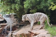 Panthera tigris (carlos mancilla) Tags: whitetiger zoos pantheratigris tigreblanco zoolgicos canoneos700d ef70300mmf456lisusm canoneosrebelt5i
