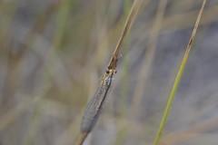 Hormiga león (esta_ahi) Tags: barcelona españa insectos fauna spain penedès neuroptera myrmeleontidae испания hormigaleón torrellesdefoix
