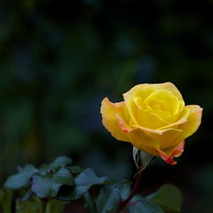 IAW_4890 (IanAWood) Tags: yellowrose mygarden manualfocus hertfordshire rickmansworth d3s walkingwithmynikon aposonnar1352zf carlzeissaposonnart2135mmzf2