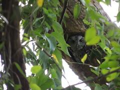 eastern screech owl (alberto bird photographer) Tags: pajaros