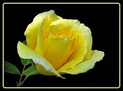 for you !!! (karin_b1966) Tags: plant flower nature rose garden blossom natur pflanze blume blte garten onblack 2013 aufschwarz