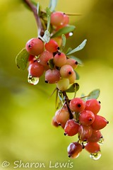Autumn Berries (clementslewis) Tags: autumn berries seasons westonbirt vision:plant=0545 vision:flower=0549