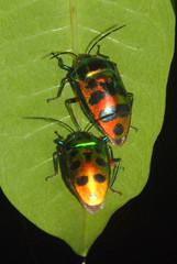 Scutelleridae at night, Nipah Lodge, Labuk Bay, Sabah, Borneo, Malaysia (Damon Tighe) Tags: night insect bay asia southeastasia south beetle lodge east malaysia borneo sabah jewel nipah scutelleridae labuk