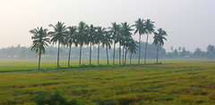 Early Morning Fog - Coconut Trees - #11112013-IMG_6179a (photographic Collection) Tags: nov morning sky india green art field fog canon project landscape photography eos early team artist photographer paddy coconut farm photographic collection land coconuttree farmer 365 11th panaroma panaromic coconuttrees eosrebel hws sarma greenary project365 2013 550d kalluri 365project t2i hyderabadweekendshoots canon550d teamhws canont2i photographiccollection bheemeswara bkalluri bheemeswarasarmakalluri