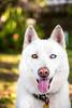 Salt (Gertrude139) Tags: dog white smile happy husky siberianhusky sibe bieyed