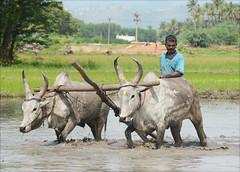 ... oxen plough tamilnadu pady vision:mountain=0501 vision:outdoor=0974