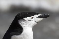 Antarctica - Day six0862 (GLRPhotography) Tags: snow ice penguin antarctica 400 chinstrap deceptionisland 100400 over200 baileyhead