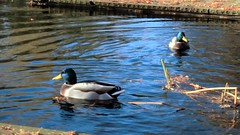 THE DUFFY'S starring in: RUN, JUMP, SPLASH! (farmspeedracer) Tags: park friends fall animal germany duck woods sunday autumns isabelle mallard duffy