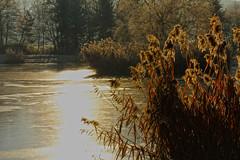 Reeds (gripspix (BUY BUY! OFF NOW!)) Tags: lake ice nature reeds see frozen natur eis schilf weiher gefroren zugefroren fischweiher 20131213