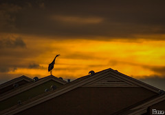 Goooood Moooorning! (elbonius76) Tags: morning bird rooftop silhouette clouds sunrise hdr photomatix singleexposurehdr contrastoptimizer topazplugins