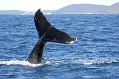 (LisaBSkelton) Tags: life nature animal canon mammal marine wildlife tail dive whale humpback migration nelsonbay portstephens fluke baleen whaletail cetacean 60d tailflukes lisaskelton