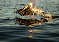 Pelican reflections (Sherry Galey) Tags: closeup florida pelican