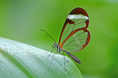 Glasswinged butterfly (Rene Mensen) Tags: butterfly wings nikon gretaoto glasswinged d5100 flickrawardgallery