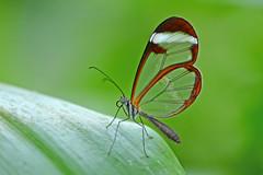 Glasswinged butterfly (Rene Mensen) Tags: butterfly wings nikon gretaoto glasswinged d5100 flickrawardgallery