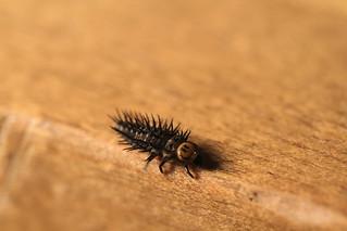 Larvae - Ladybeetle 2 of 7