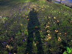 My shadow between lots of flowers (Look it big format) (Julie70 Joyoflife) Tags: flowers london spring fevrier photostroll photojuliekertesz midfebruary springwalksinlondon springflowersinfebruary