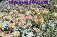 100_1192 (sierrarainshadow) Tags: lake carson pass trail eriogonum sedum var winnemucca ovalifolium nivale lanceolatum