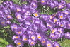 spring_0049 (Peter-Williams) Tags: uk flowers garden sussex brighton crocus tulip daffodils carmelia paviliongardens oark