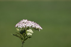 little white flowers (The.Dark.Passenger.) Tags: flowers white macro verde green nature closeup little bokeh fiori bianchi fiorellini