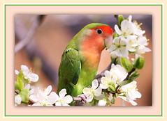 Lovebird In Plum Blossoms (bigbrowneyez) Tags: flowers pet tree bird love nature beautiful beauty wings model soft branch bokeh pastel gorgeous blossoms feathers natura dolce precious frame stunning colourful striking lovebird sweetness cornice uccello bello plumblossoms bellissimo peachfacedlovebird uccellino piccolino italianplum outdoorsbright lovebirdinplumblossoms plumetree