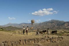 Threshing Grain Wollo (Indrias) Tags: farmers harvest ethiopia wollo