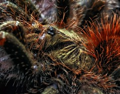 Avicularia bicegoi, female juvie, 3-inch (_papilio) Tags: macro canon invertebrate canonmpe65mm papilio arthropod 6d