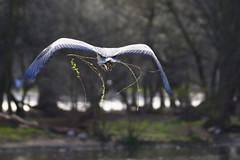 DSC00722 - Grey Heron (steve R J) Tags: park london heron birds grey flight explore british regents nesting