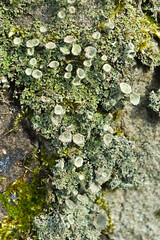 Cladonia Sp. (Trevor King 66) Tags: green nature flora nikon lichen peakforestcanal d3100