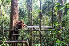 Sandra and Baby 0479 (Ursula in Aus (Resting - Away)) Tags: animal sumatra indonesia sandra unesco bukitlawang gunungleusernationalpark earthasia