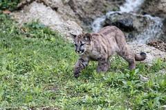 Cougar (Puma concolor) (Mladen Janjetovic) Tags: salzburg animal animals zoo austria tiere wildlife puma tiergarten 2014 mladen eos6d janjetovic cougarpumaconcolor 70200isiiusm