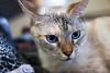 Luluʻs blue eyes (Moviechic07) Tags: cats blueeyes cateyes beautifulcats