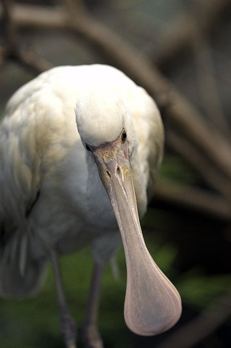 1000  images about Spoonbills on Pinterest