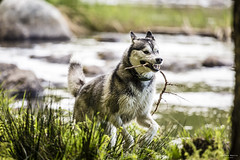 Spike the wolfdog (Steffen Morris) Tags: dog nature animal husky wolf wildlife running
