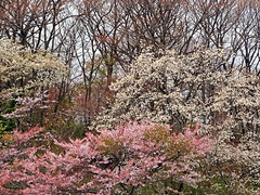 Spring Unleashed in Gotemba (Explored) (Rekishi no Tabi) Tags: japan spring sakura cherryblossoms gotemba