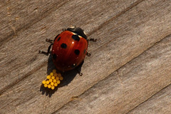 Little eggs (Rene Mensen) Tags: insect nikon rene eggs ladybug dots mensen d5100
